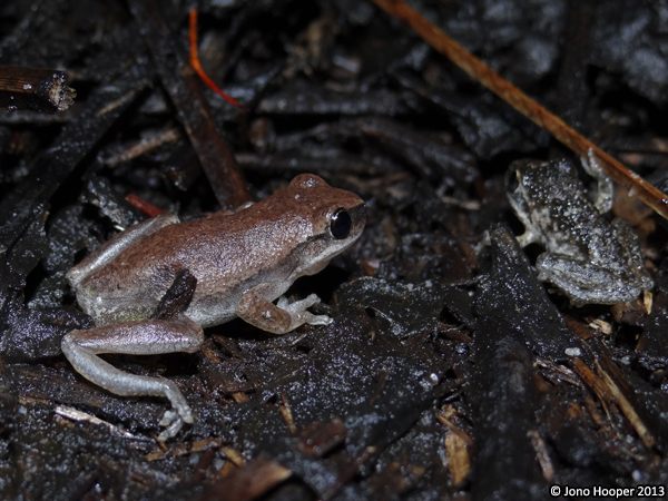 Litoria rubella (Naked Treefrog) and Litoria freycineti (Wallum Rocketfrog) juvenile at Mooloolah River National Park