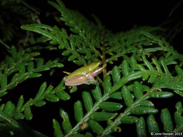 Eastern Sedgefrog
