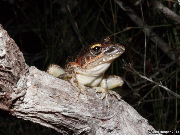 Wallum rocketfrog