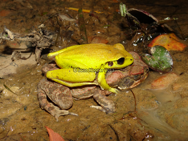 Stony-creek frog (Litoria wilcoxii) and a cane toad (Rhinella marinus) in amplexus. They say there are strange things in Gympie...