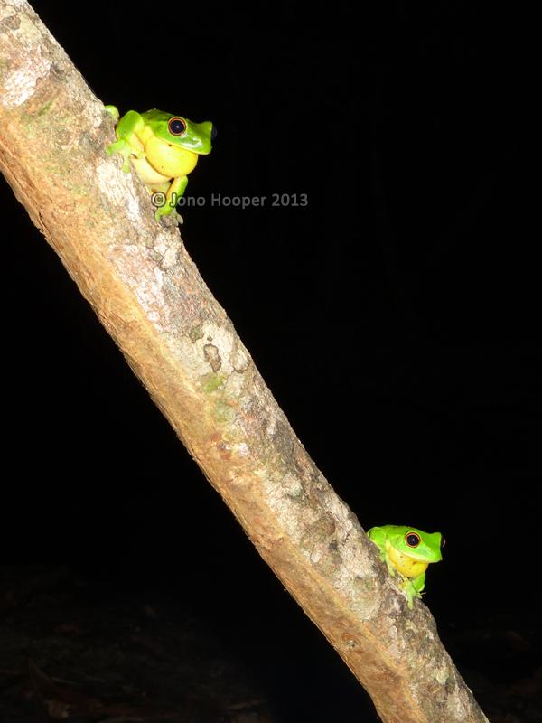 Southern orange-eyed treefrogs