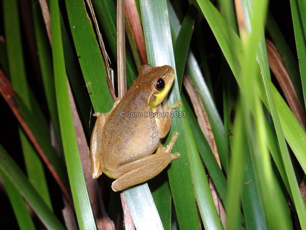 Cascade treefrog female
