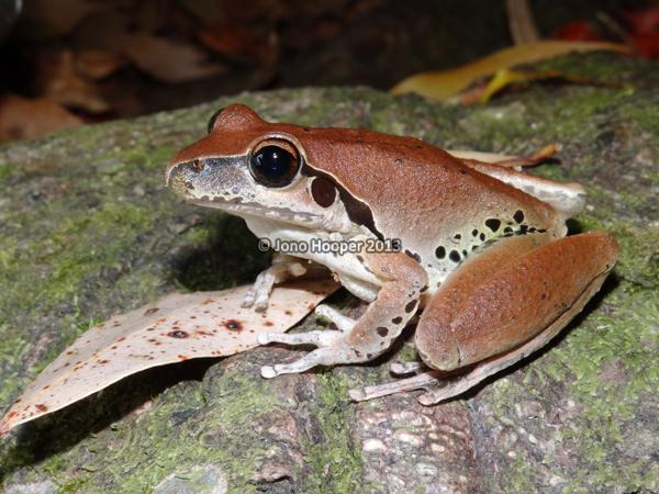 stony-creek frog female