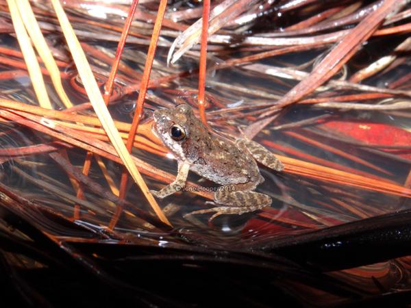 Wallum froglet (Crinia tinnula), a threatened species