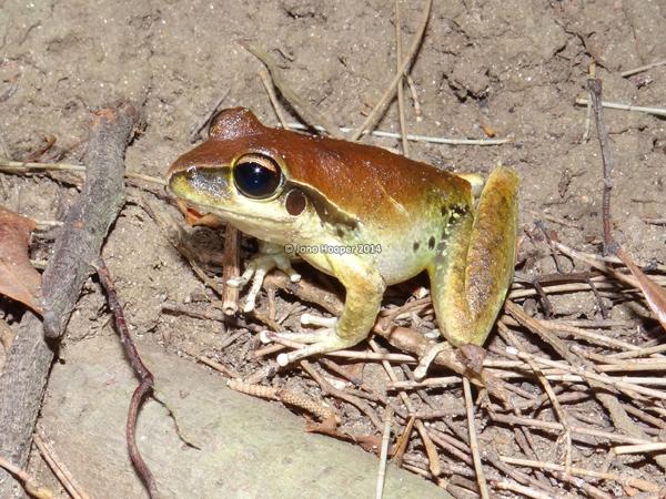 Stony-creek frog (Litoria wilcoxii), male.