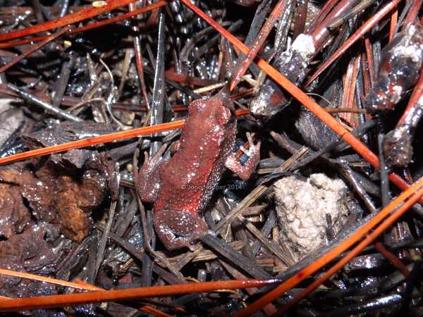 Copper-backed broodfrog (Pseudophryne raveni). A very difficult species to find hidden amongst decaying leaf litter.