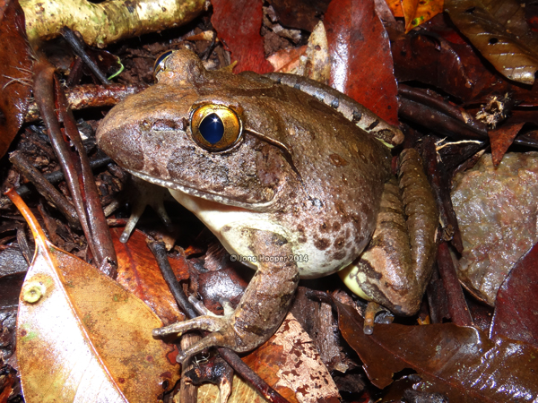 Giant barred frog (Mixophes iteratus), adult female