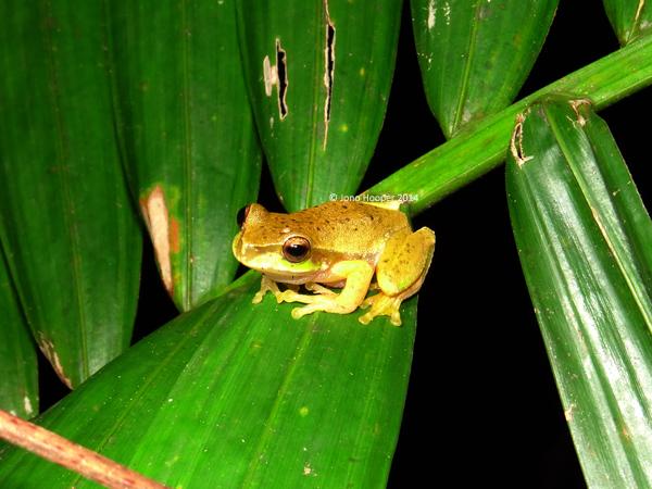 Cascade Treefrog (Litoria personiana)