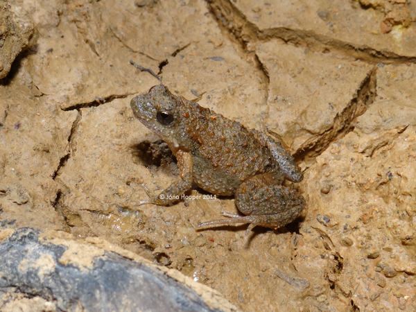 Beeping Froglet (Crinina parinsignifera)