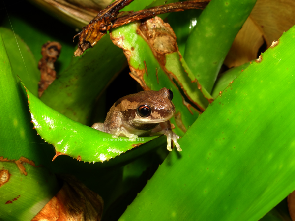 Bleating Treefrog (Litoria dentata)