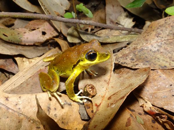 Stony-creek frog (Litoria wilcoxii)
