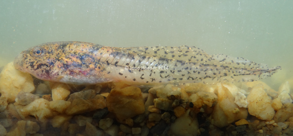 Giant Barred Frog (Mixophyes iteratus) tadpole