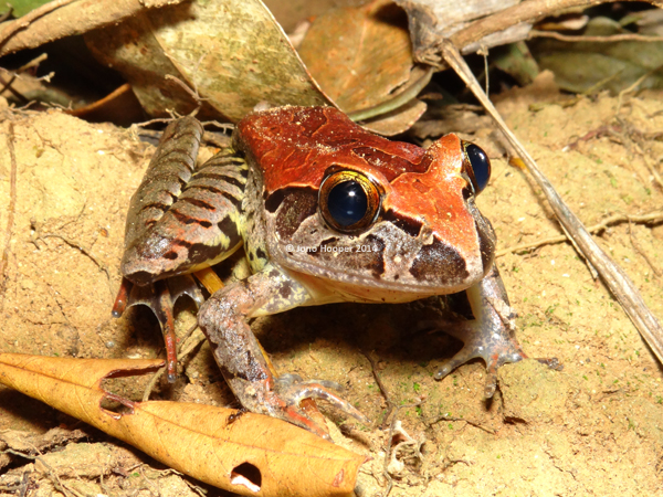 Giant Barred Frog (Mixophyes iteratus) male