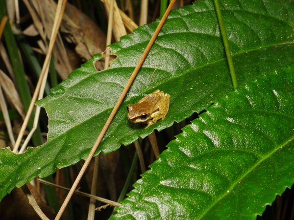 Cascade Treefrog (Litoria pearsoniana) juvenile, recently metamorphed from tadpole stage