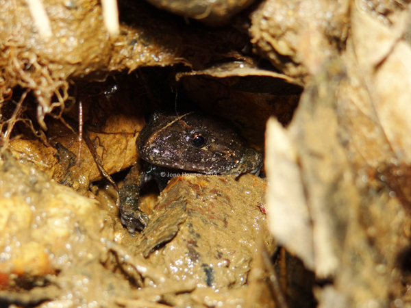 Tusked Frog (Adelotus brevis) male, calling from a crayfish hollow on the creek bank