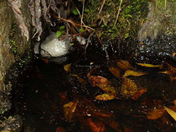 Tusked Frog spawn (white foam) and treefrog eggs in a rockpool