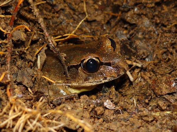 Fleay's Barred Frog (Mixophyes fleayi) - uncovered.