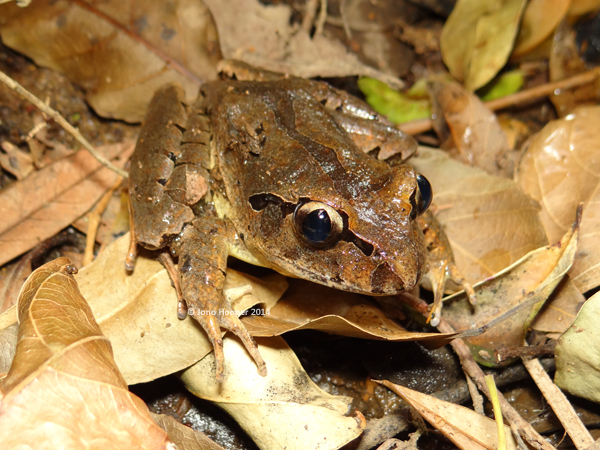 Fleay's Barred Frog (Mixophyes fleayi). This species is distinguished from the other local barred frogs by the gradient of the iris i.e. lighted gold up top transitioning to a darker gold below.