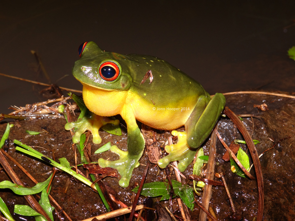 Southern Orange-eyed Treefrog (Litoria chloris)