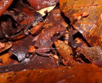 Marsupial Frog (Assa darlingtoni)