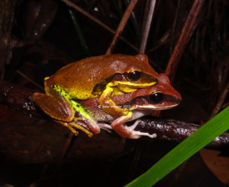 Green-thighed Frogs (Litoria brevipalmata). Finally found these frogs with greener thighs. Such a pretty animal.