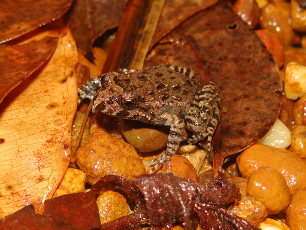 Tusked Frog (Adelotus brevis)