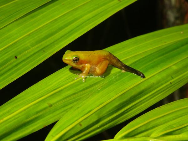 Eastern Sedgefrog metamorph (Litoria fallax)