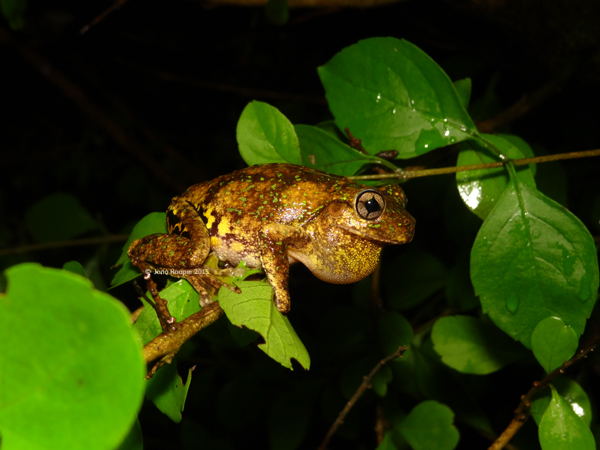 Emerald-spotted Treefrog (Litoria peronii)