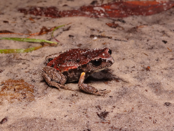 Copper-backed Broodfrog (Pseudophryne ravenii). Our first find for the night and personally the most exciting for me!
