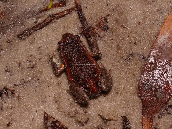 Copper-backed Broodfrog (Pseudophryne ravenii). Above shot.