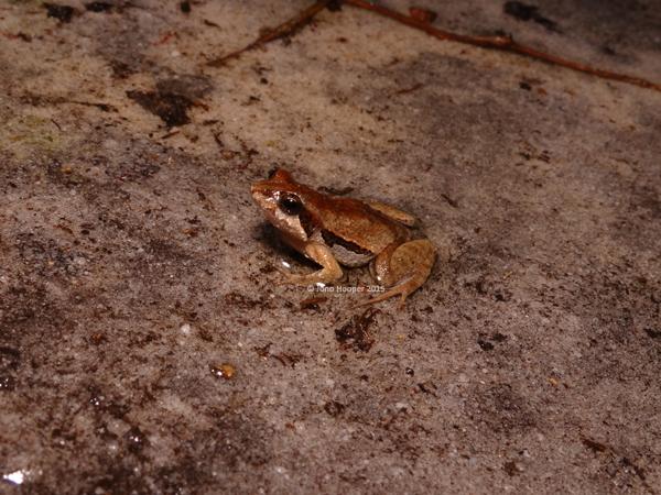 Wallum Froglet (Crinia tinnula)