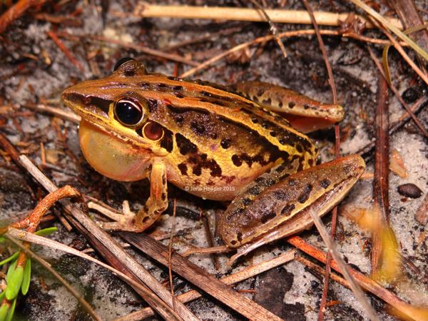 Striped Rocketfrog (Litoria nasuta)