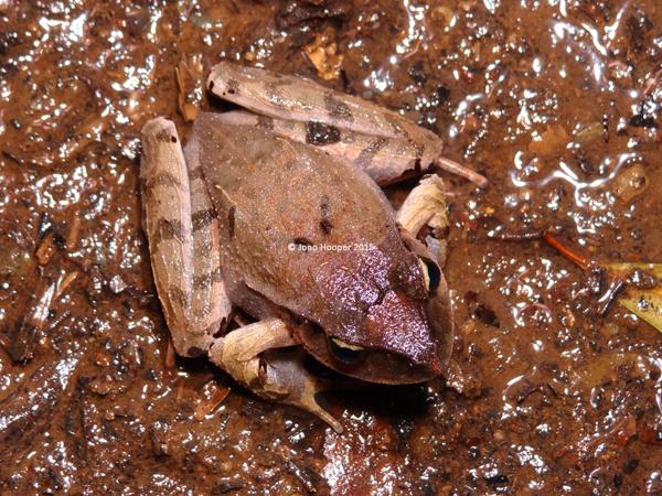 Black-soled Frog (Lechriodus fletcheri)