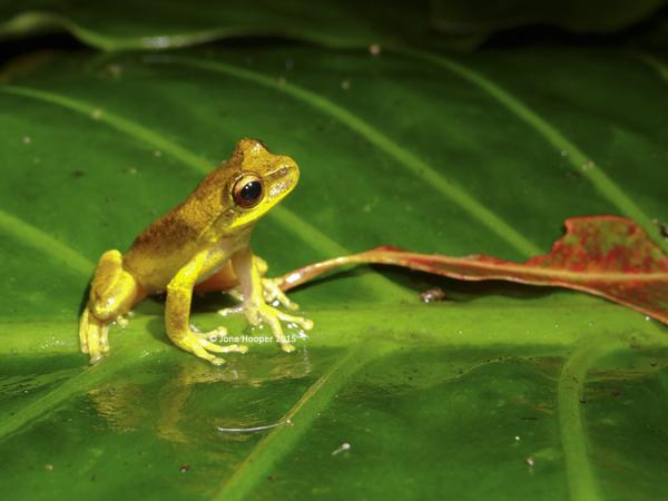 Whirring Treefrog (Litoria revelata)