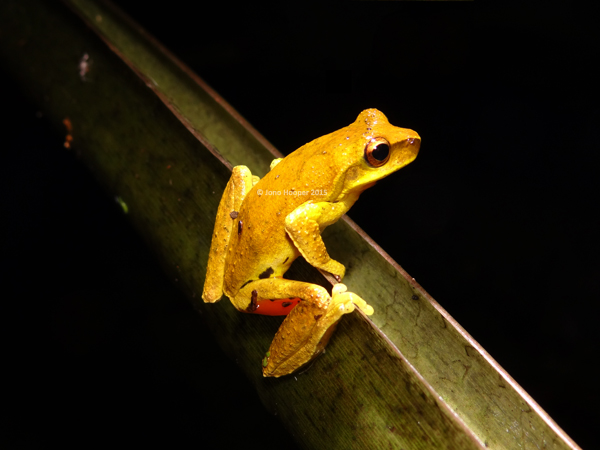 Whirring Treefrog (Litoria revelata) with the vibrant orange shown on outer leg.