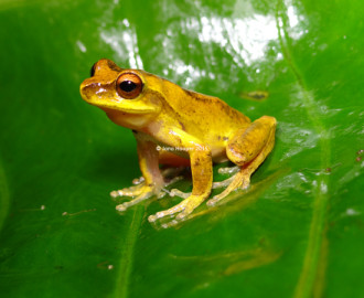 Whirring Treefrog (Litoria revelata) perched proudly on a leaf.