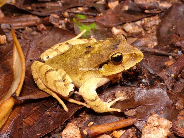 Black-soled Frog (Lechriodus fletcheri). Variaation in colour shown here.