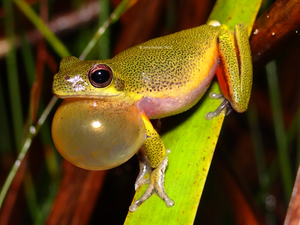 Cooloola Sedgefrog (Litoria cooloolensis). Notice the black speckling on their back; characteristic to this species.