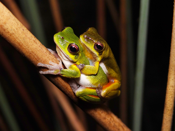 Cooloola Sedgefrogs (Litoria cooloolensis) in amplexus with the male on top.