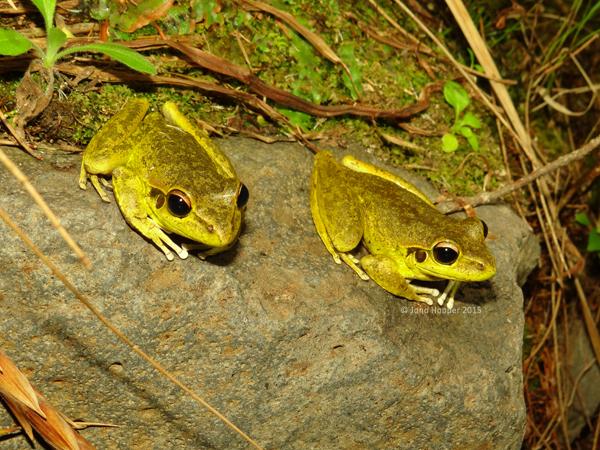 Stony-creek Frogs (Litoria wilcoxii)