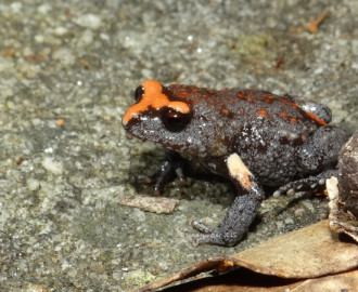 Red-crowned Broodfrog (Pseudophryne australis)