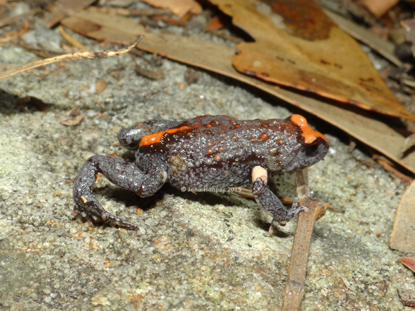 Red-crowned Broodfrog (Pseudophryne australis). These were particularly hard to photograph as they were not content with sitting still!