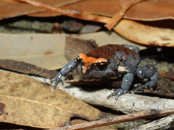 Red-crowned Broodfrog (Pseudophryne australis)