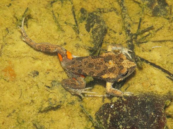 Eastern Gungan (Uperoleia laevigata). Shot showing bright orange patches on the thigh.