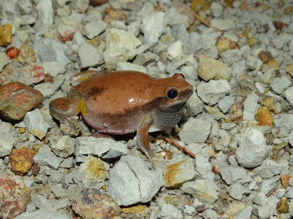 Naked Treefrog (Litoria rubella)