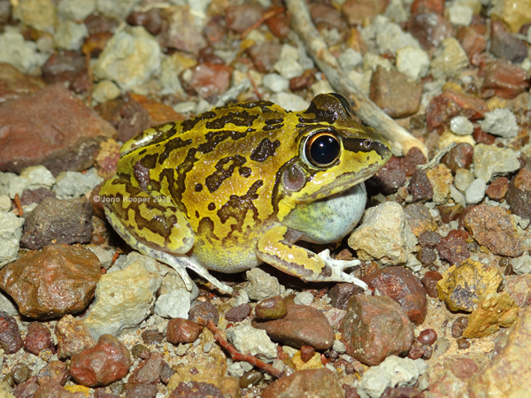 Superb Collared-frog (Cyclorana brevipes)