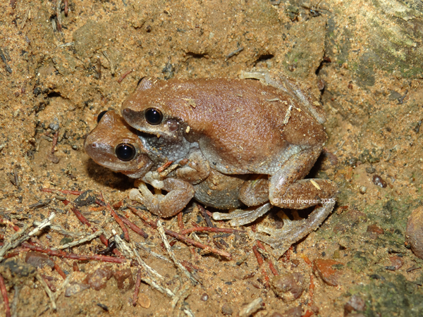 Naked Treefrogs (Litoria rubella) in amplexus