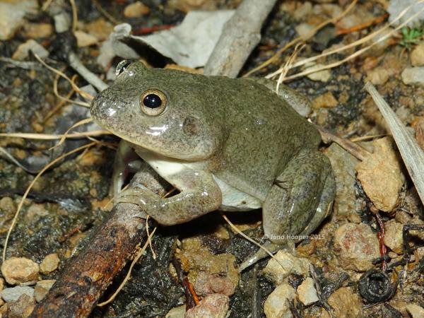Water-holding Frog (Cyclorana platycephala).