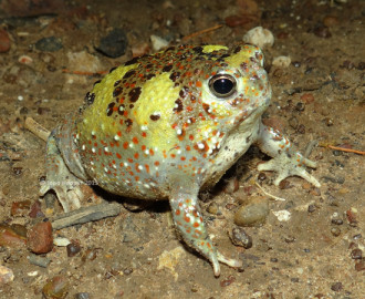 Holy Cross Frog (Notaden bennettii)