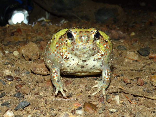 Holy Cross Frog (Notaden bennettii). Not the happiest looking frog.